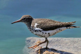 IMG_1696a Spotted Sandpiper.jpg