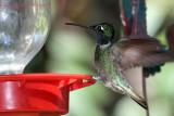 IMG_4227 Magnificent Hummingbird male.jpg