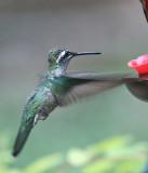 IMG_9224 Magnificent Hummingbird.jpg