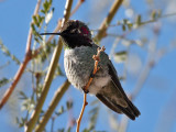 IMG_6904 Anna's Hummingbird.jpg