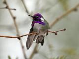 IMG_0046 Costa's Hummingbird.jpg