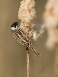 Rietgors/Reed bunting