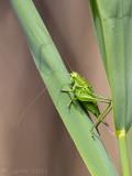 Grote groene sabelsprinkhaan/Tettigonia viridissima