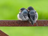 Boerenzwaluw/Swallow