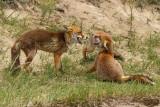 Vos/Red fox