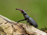 Vliegend hert/Lucanus cervus ♂