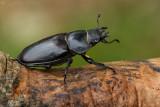 Vliegend hert/Lucanus cervus ♀