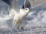 Stormmeeuw/Common gull