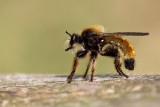 Roofvlieg/Machimus atricapillus