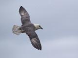 Noordse stormvogel/Fulmar