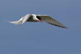 Noordse stern/Arctic tern