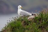 Zilvermeeuw/Herring gull