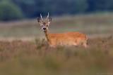 Ree/Roe deer