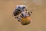 Viervlekwielwebspin/Araneus quadratus