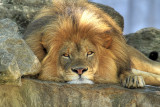 Big Cats of the St. Louis Zoo