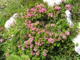 P7100062_Rododendron.JPG