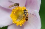 Dobbeltbåndet Svirreflue - Episyrphus balteatus