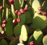 Pear Cactus on Verano