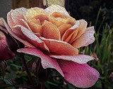 A Easter Rose