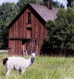 Llama and Barn