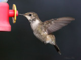 2011-2012 Winter Backyard Hummingbirds