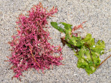 Carrigeen Moss & Sea-Lettuce