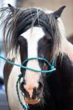 Piebald - Cahirmee Horse Fair