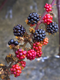 Blackberries - Ripe & Unripe