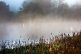 Three Foggy Swans