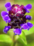 Burren Flower