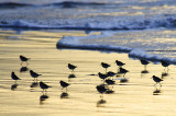 Ringed Plover in Silhouette