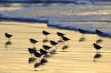 Ringed Plover in Silhouette 2