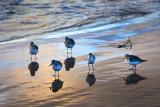 Five Sanderling