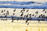 Ringed Plover Flock