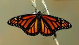 monarch_metamorphosis