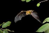 Nicaragua Bats