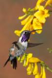 arizonas_hummingbirds
