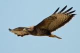 Common buzzard -  PSLR DSC
