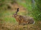 Hare - Haas PSLR-1437.jpg