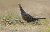 Pheasant - Fazant PSLR-2169.jpg