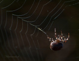 Viervlekwielwebspin - Orb Weaver Spider PSLR-3403.jpg