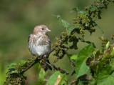 Juvenile Goldfinch - Putter PSLR2936.jpg