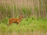 Roe Deer - Ree  PSLR1919.jpg
