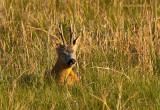 Roe Deer - Ree  PSLR2400.jpg
