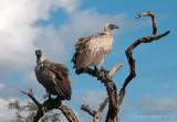 White-backed Vulture - witruggier PS LR DSC8390.jpg