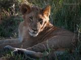 Lion PSLR-8392.jpg