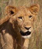 Lion female PSLR-8408.jpg