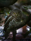 African Barred Owlet PSLR-8470.jpg