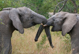 African Elephant PSLR-8510.jpg