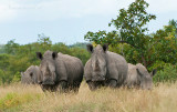 White Rhinoceros PSLR-8522.jpg